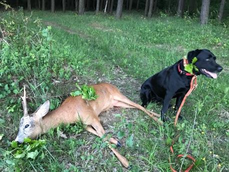 Labrador Hündin Ronja konnte den Bock schnell finden